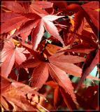 Maple Leaves *
