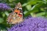 Painted Lady 1*