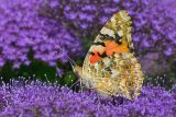 Painted Lady 3*