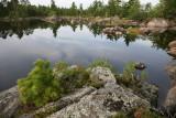 Litte Pine