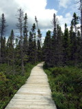Board walk in spruce bog