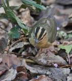 Worm-eating Warbler