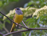MacGillivray's Warbler
