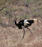 Ostrich (Somali)