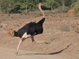 Ostrich (Masai)