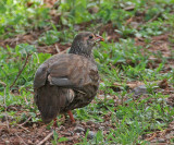 Scaly Francolin