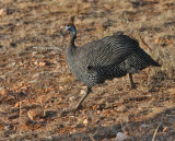 Helmeted Guineafowl (nominate)