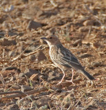 Pink-breasted Lark