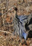Vulturine Guineafowl