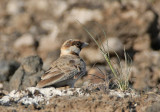 Chestnut-headed Sparrow-Lark