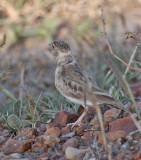 Chestnut-headed Sparrow-Lark