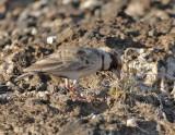 090613 Chestnut-headed Sparrow-Lark 3851.jpg