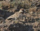 090613 Chestnut-headed Sparrow-Lark 3868.jpg