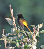 Golden-winged Sunbird