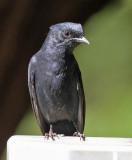 Southern Black-Flycatcher