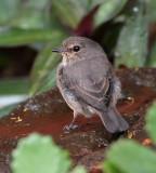 Dusky-brown Flycatcher