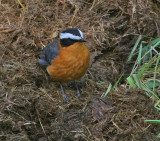 Rueppell's Robin-Chat or White-browed Robin-Chat