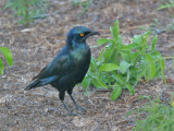 Lesser Blue-eared Glossy-Starling