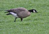 possible Taverner's Cackling Goose, Oakland, October 2010