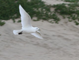Ivory Gull, Grover Beach, November 2010