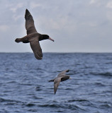 Short-tailed Albatross and Northern Fulmar