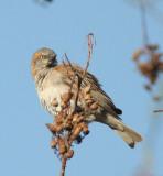 Kenya Rufous Sparrow