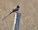 Fork-tailed Flycatcher