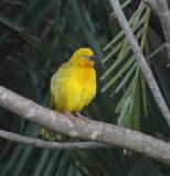 Holub's Golden-Weaver