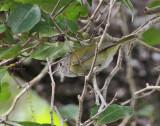 Lesser Greenlet