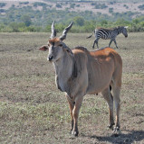 Common Eland (East African)