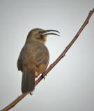 Catbirds, Thrashers, Mockingbirds