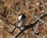 Chestnut-backed Chickadee (northern form)
