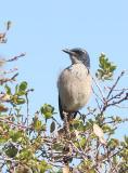 Island Scrub-Jay