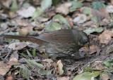 Fox Sparrow (Slate-colored)