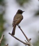 Nutting's Flycatcher