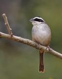 Stripe-headed Sparrow