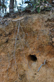 Russet-crowned Motmot nest burrow