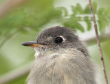 cuban_pewee_florida_everglades
