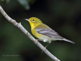 PIne Warbler, male