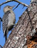 Woodpecker, Red-bellied,  chick