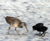 Clapper Rail and two chicks