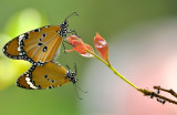 plain_tiger_butterfly