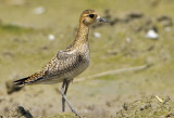 pacific_golden_plover