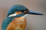 common_kingfisher_d7000