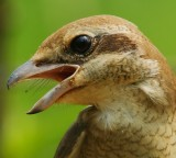 brown_shrike