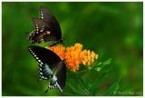 Spicebush Swallowtails