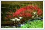 Reflections of Babydoll Sheep   (over 125)