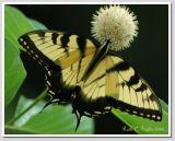 Tiger Swallowtail #1