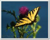 Tiger Swallowtail #3