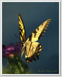Tiger Swallowtail #4